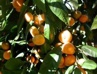 Clasificación automática de naranjas